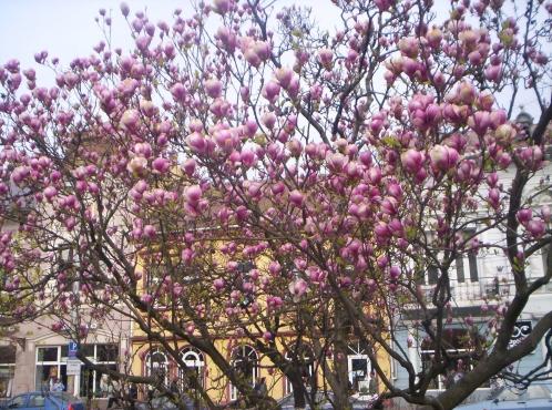 magnolii-tg-mures-1_d8d406cb272e9a