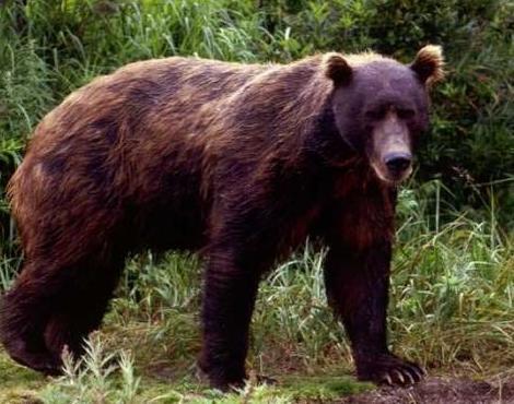 brown_bear8.jpg