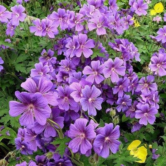plante-perene-cu-cele-mai-frumoase-flori-3.jpg